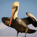 Pelican, Pelecanus occidentalis por C.O'N