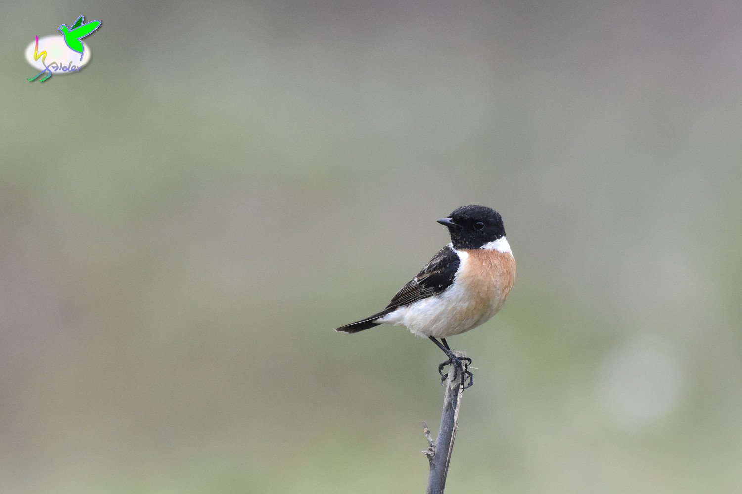 Common_Stonechat_9583