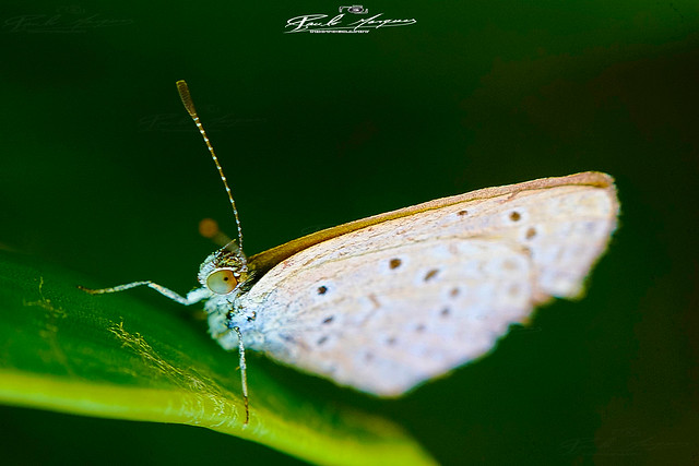 LITTLE_BUTTERFLY_1CM_SUPER_MACRO_&_BOKEH