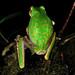 Pelodryadidae: Litoria angiana