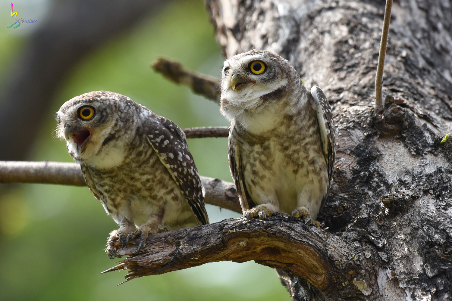 Spotted_Owlet_4599