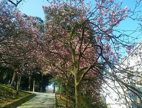 La primavera asoma tímidamente en Santa Margarita. #Coruña #spring #flores #trees #park #phonephoto