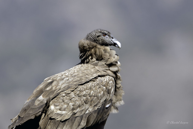 Andean Condor and Spring Break