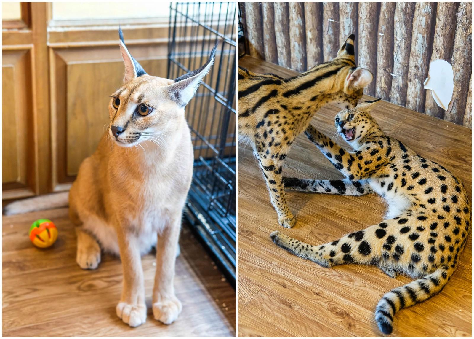 非洲猫科动物咖啡厅