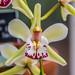 Orchid RHS Wisley 08 February 2018 (45)