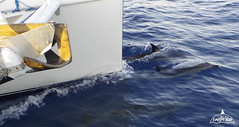 dolphins-sailing-charter-aeolian-islands-sicily