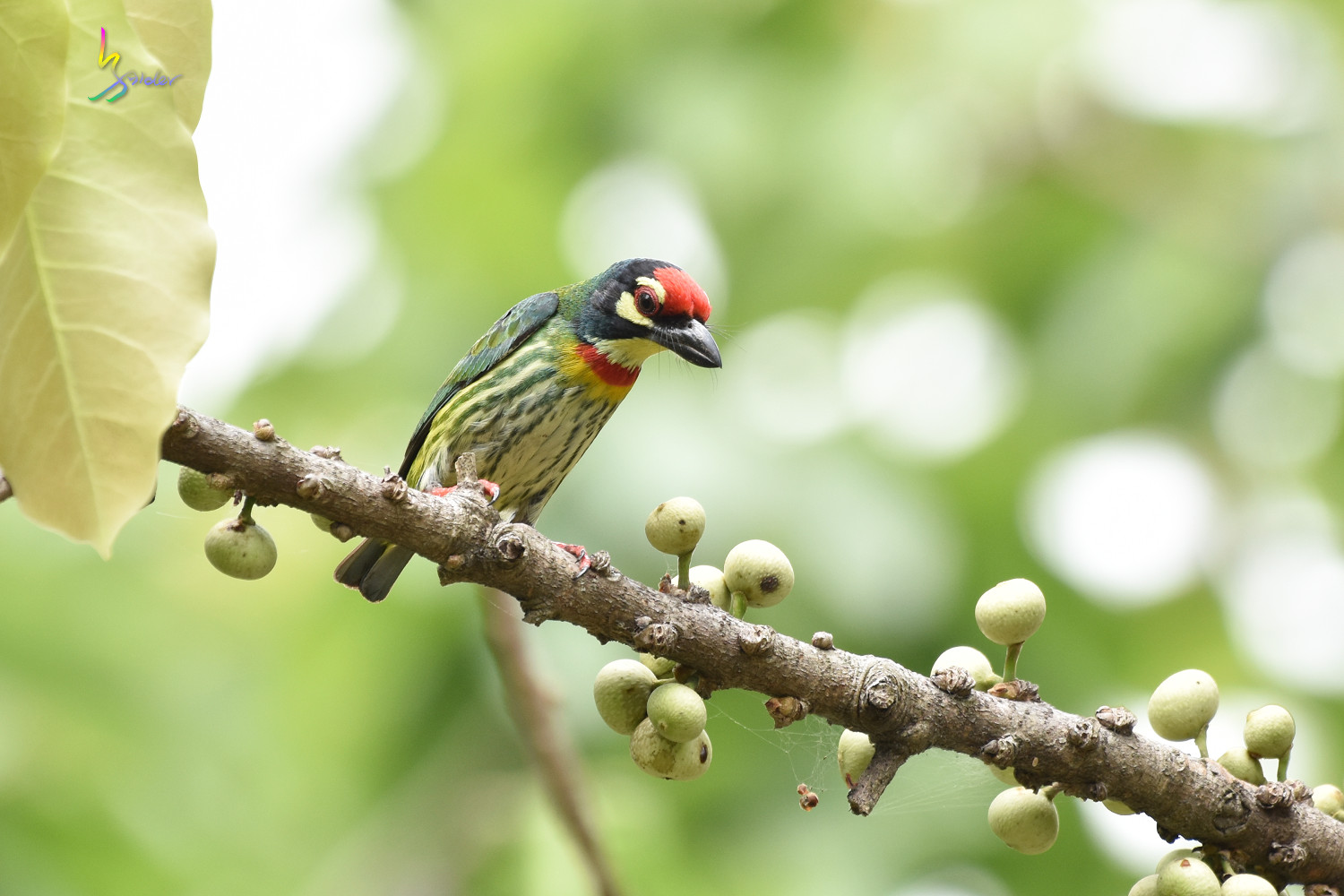 Coppersmith_Barbet_1630