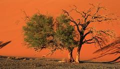 Desert Trees at Sossusvlei (2)