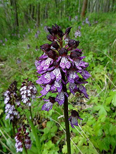 Purpur-Knabenkraut- Orchis purpurea, NGID1760275946