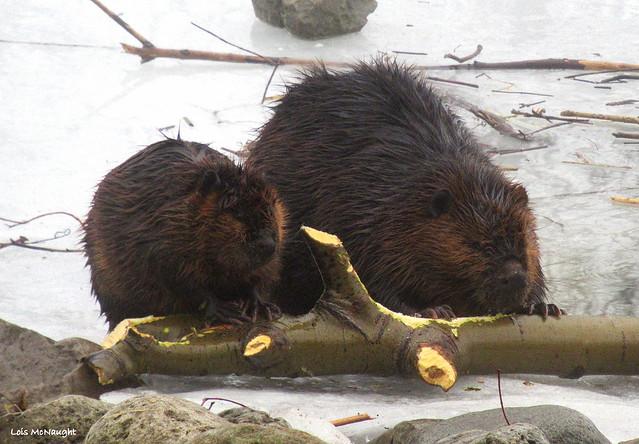 Mama Beaver and Kit
