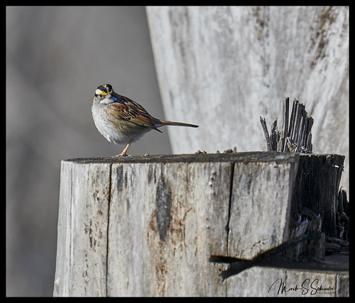 White-throated Sparrow at Eagle Bluffs Conservation Area