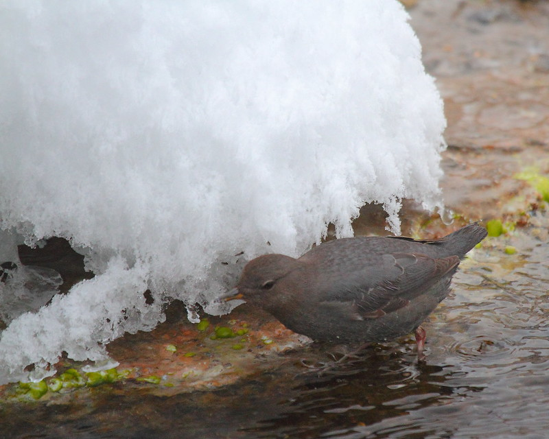 IMG_9988 American Dipper, Yellowstone National Park