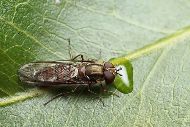 Hoverfly Episyrphus balteatus #2
