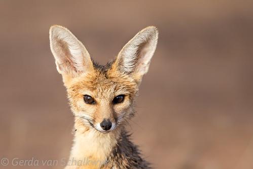 Portrait of a Cape Fox