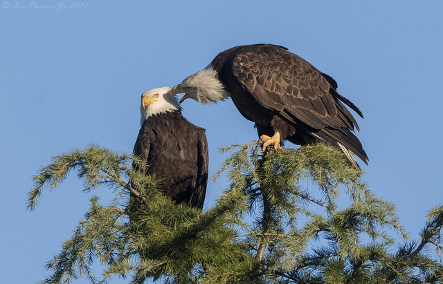 Bald Eagle pair 2017
