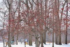 Winter color - Veterans Park