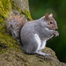 Grey Squirrel up a tree