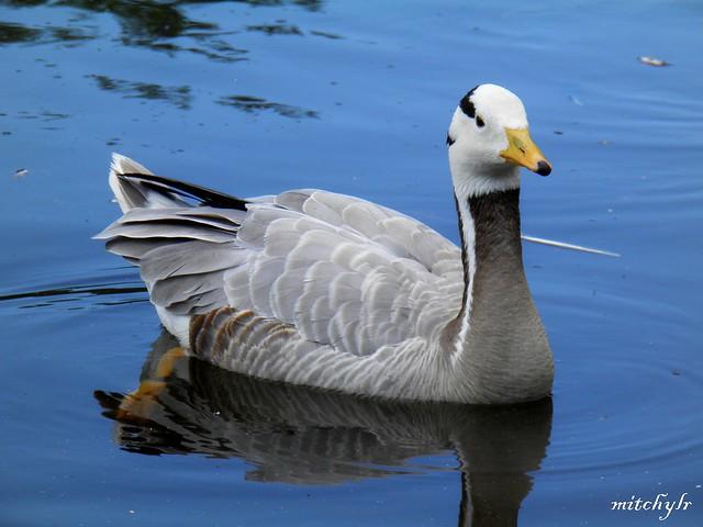 Bar-Headed Goose 5