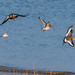 Lapwing, Black-tailed Godwit, a Dunlin and Knot