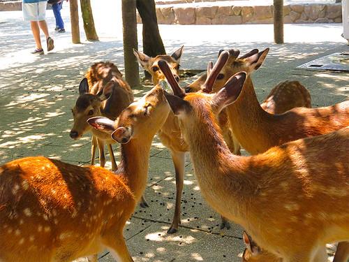 IMG_6506  Deer @ Miyajima Japan