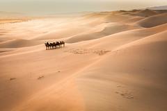 Kamelherde in der Wüste Gobi © sirnength88 – fotolia.com