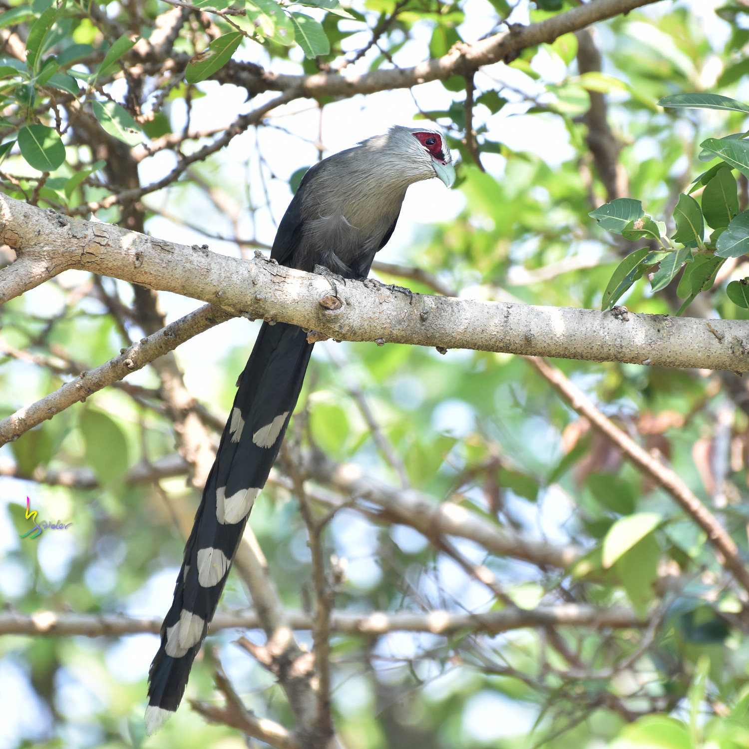 Green-billed_Malkoha_7784