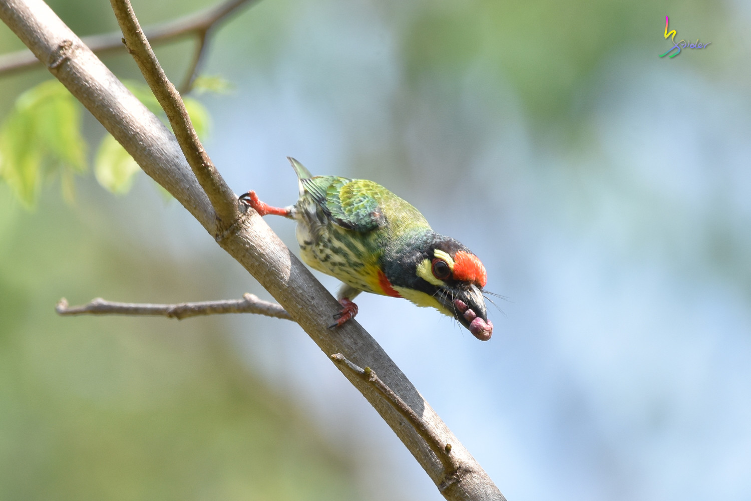 Coppersmith_Barbet_7569