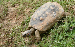 Red-footed Tortoise (Chelonoidis carbonarius) (Captive specimen)