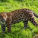 Chester Zoo: Jaguar