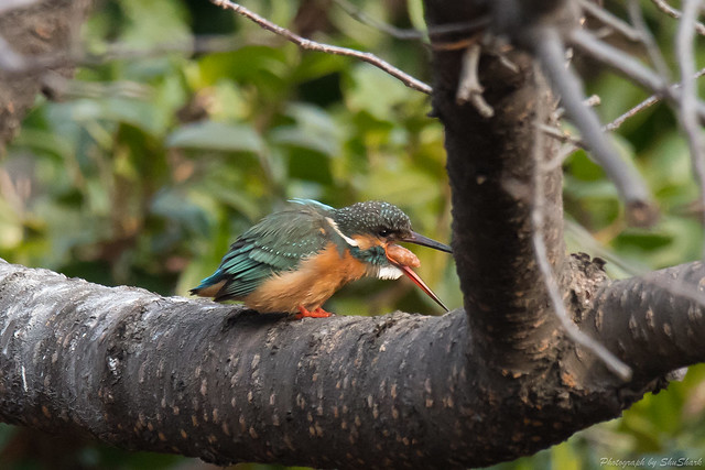 20180203-kingfisher-DSC_6819