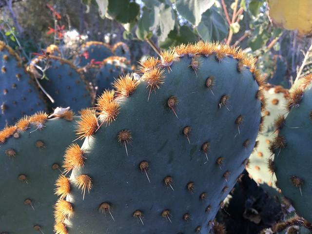Opuntia aciculata - Chenille Prickly Pear