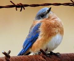 eastern bluebird , BARC
