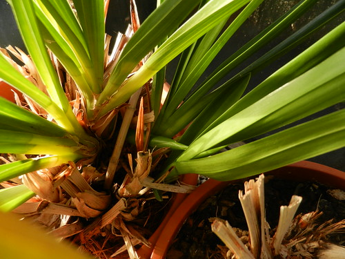 Cymbidium plants in spike