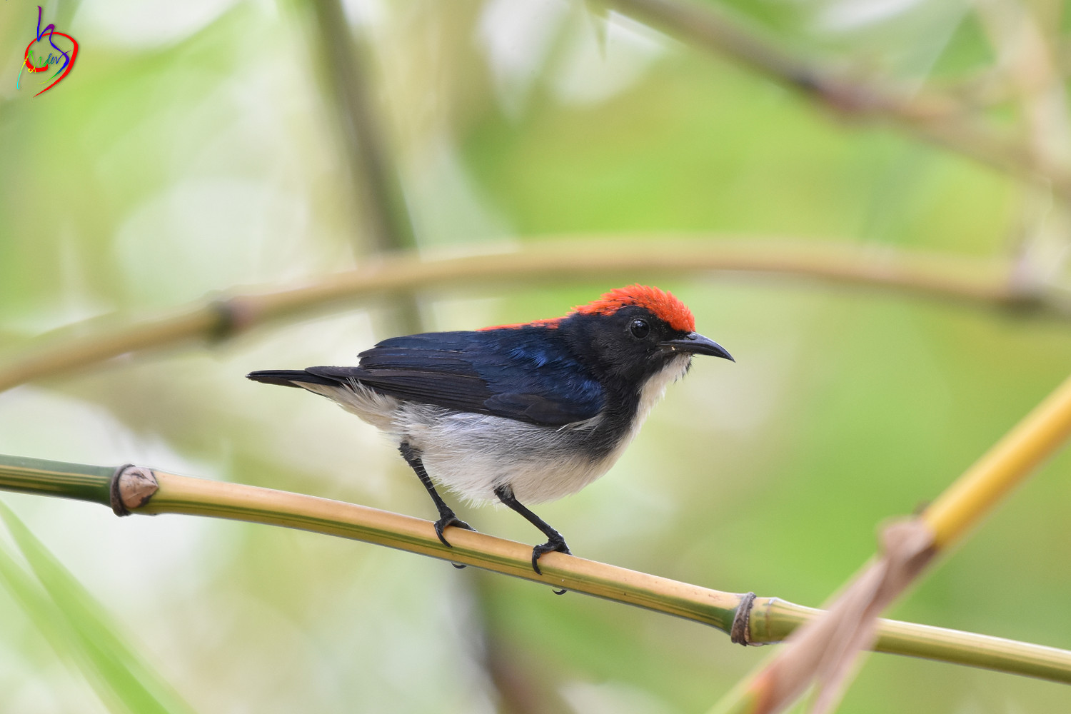 Scarlet-backed_Flowerpecker_4129