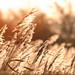 Back-lit Reeds