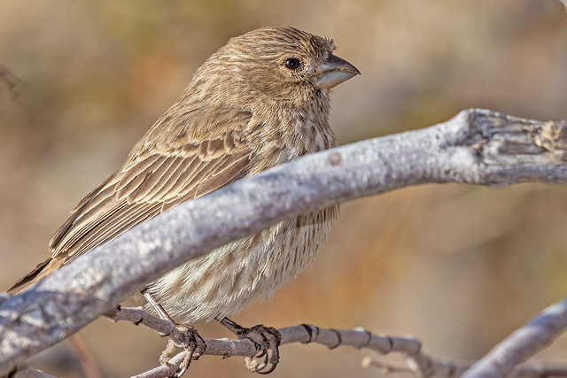 Lady-House-Finch-1-7D2-012018