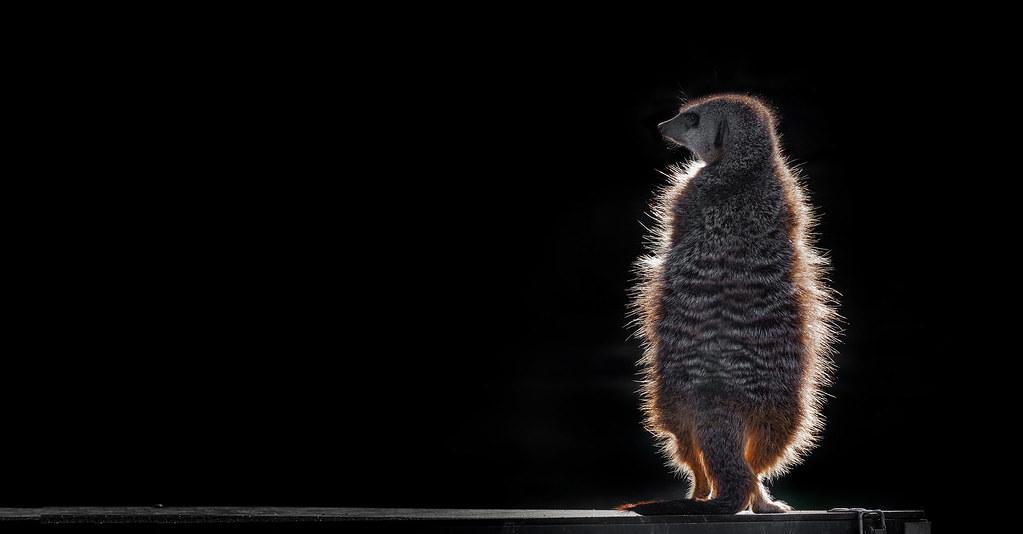 meerkat with a corona