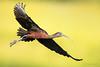 Glossy Ibis in flight by Greg Gard
