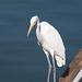 Great Egret por Bucky-D