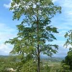 Pterocarpus indicus plus tree