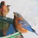 bluebird on birdbath closeup4 signed