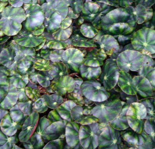 Begonia hydrocotylifolia 39836729642_76c8249f31_o