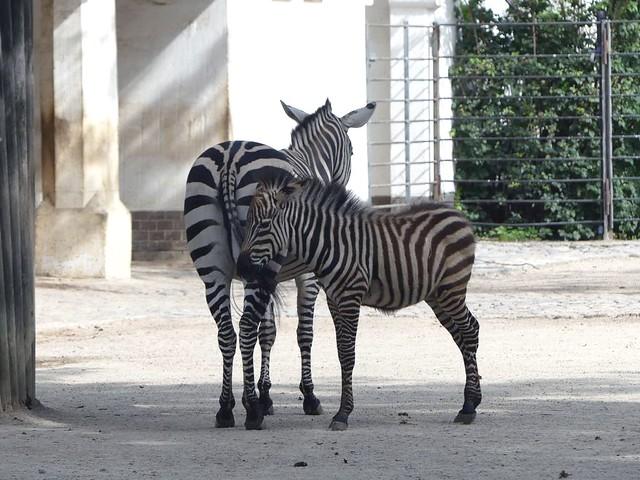 Zebra, Zoo Berlin