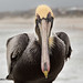 Brown Pelican Up Close by ChrisF_2011