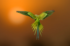 Stunning spread of a parakeet!