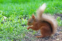 HolderRed Squirrel, St Bees, Cumbria, England