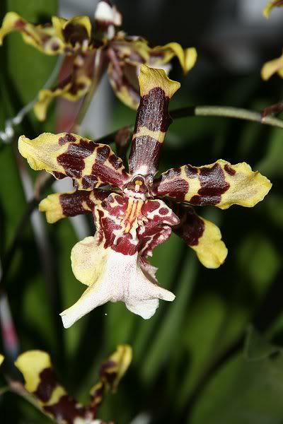 Les orchidées chez Sougriwa - Page 3 24948585777_bf9d7e6df0_z