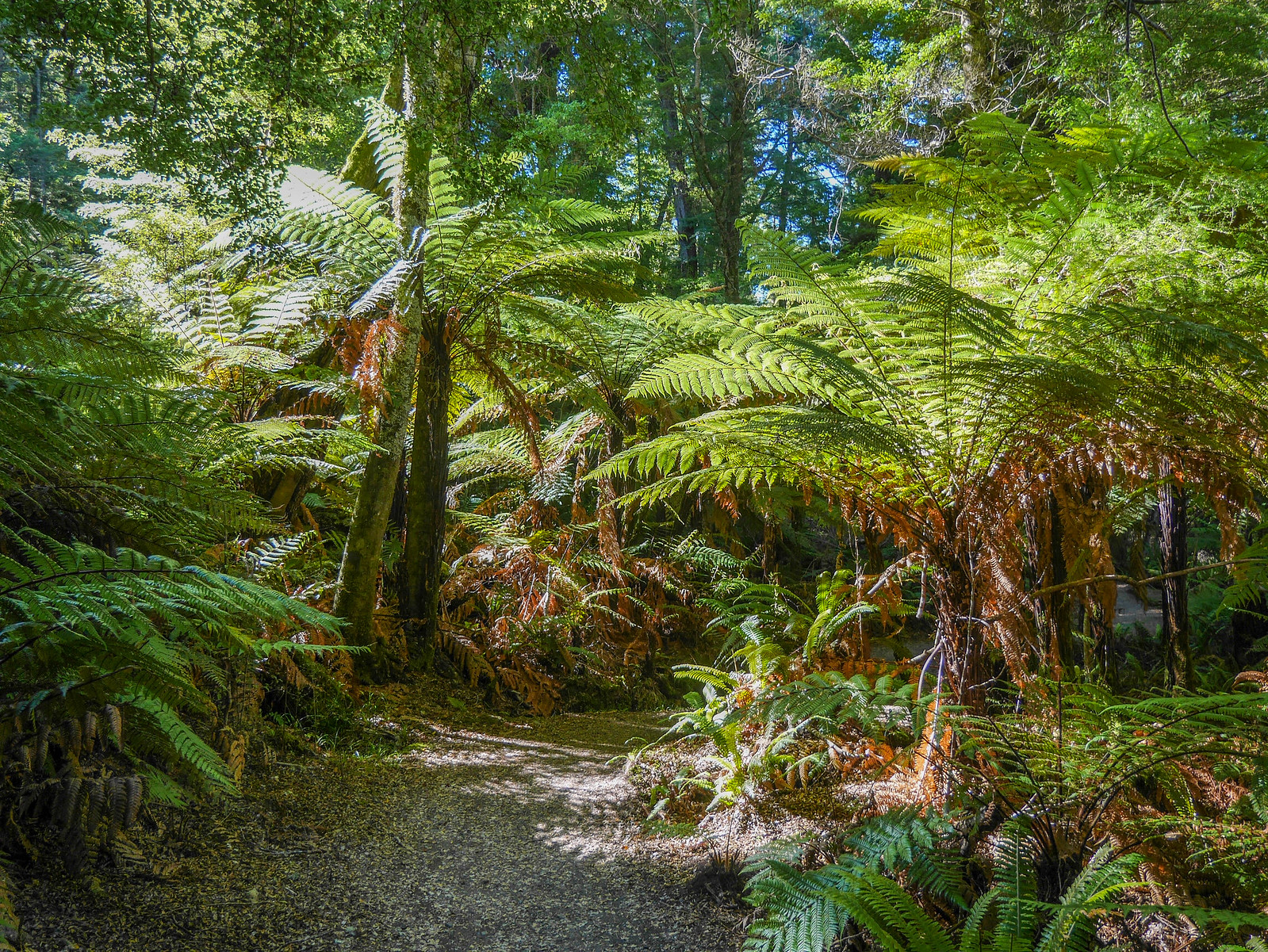 Smallish tree ferns