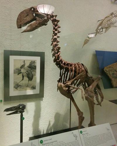 Diatryma gigantea #newyorkcity #newyork #manhattan #amnh #birds #fossil #diatrymagigantea #diatryma #americanmuseumofnaturalhistory #latergram