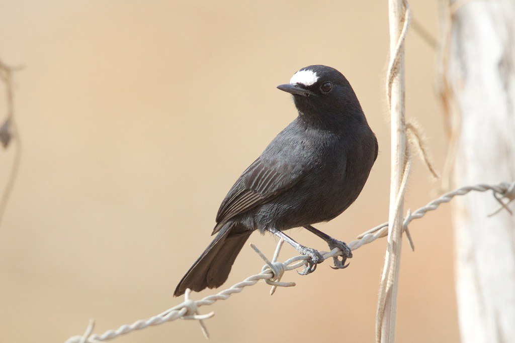 White-fronted Black Chat. Oenanthe albifrons